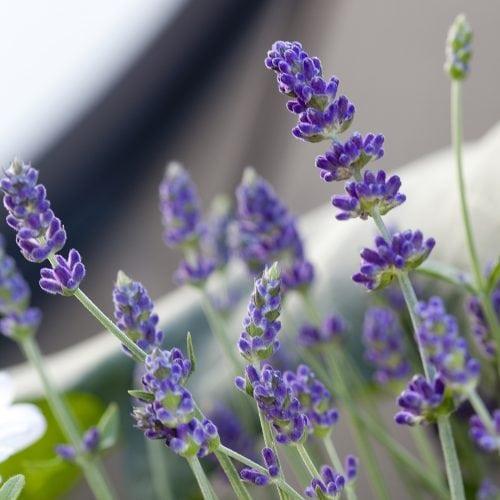 Lavendelblom i urban miljö