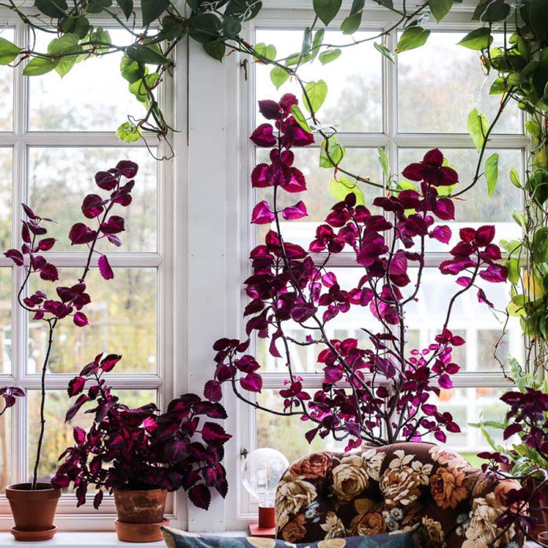 Plantor av purpurfärgade Palettbladplantor i ett fönster
