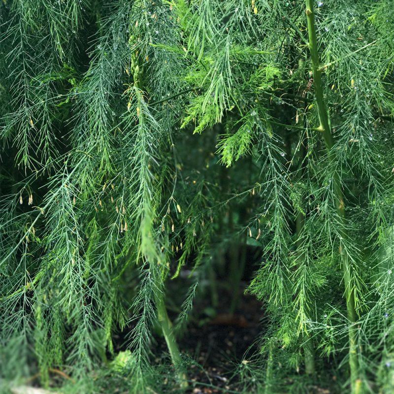 Detaljbild av uppvuxen sparrisplanta