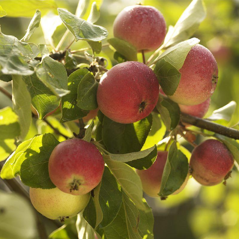 Ta hand om ditt äppleträd och skörda egna äpplen