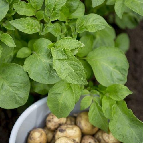 potatisplanta som står vid en skål med potatis i