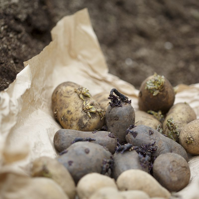 Olika potatissorter som ligger på ett papper ovanpå jord