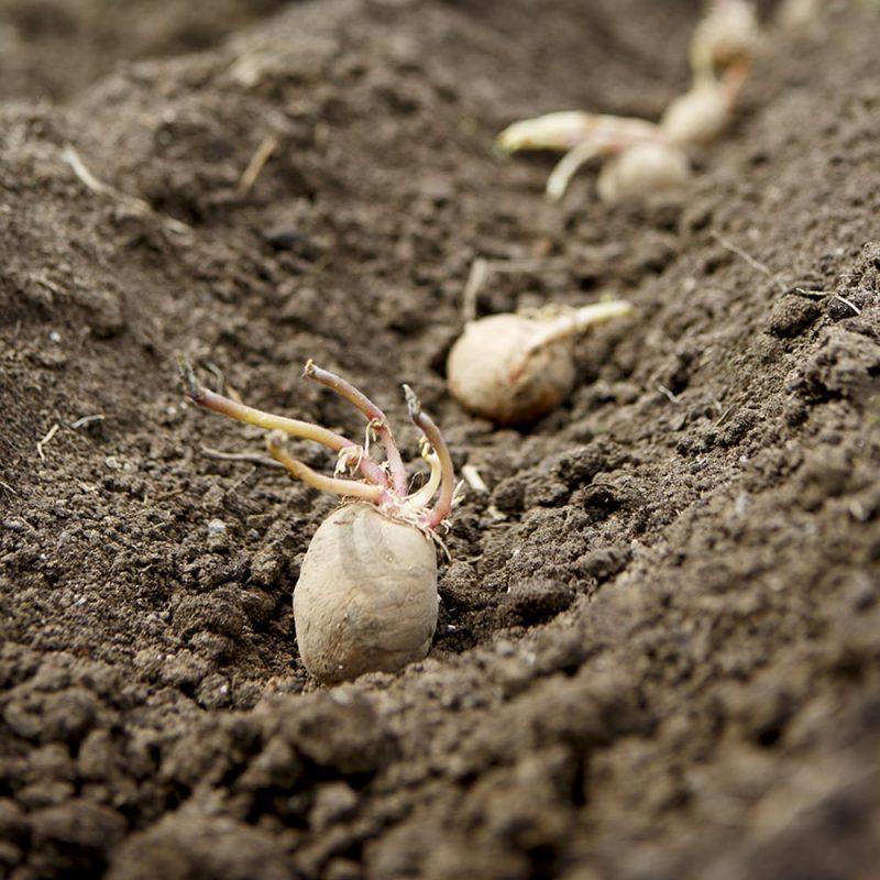Potatisar som ligger i en rad ovanpå jord