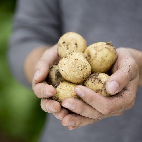 två händer kupade kring potatisar