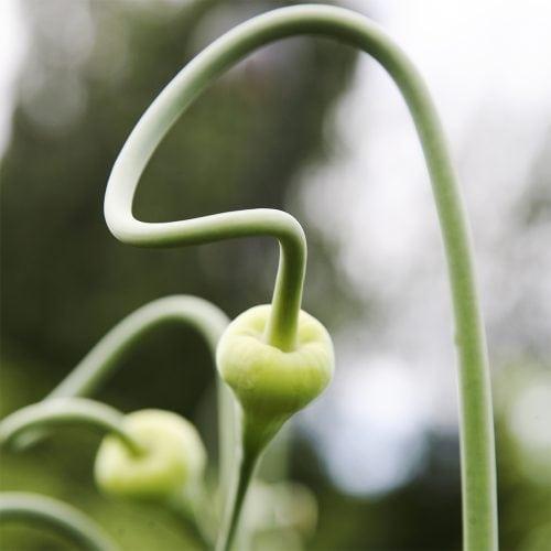 Garlic flowerbuds
