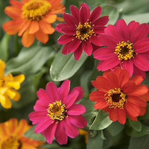 Red, orange, pink and yellow Zinnia flowers