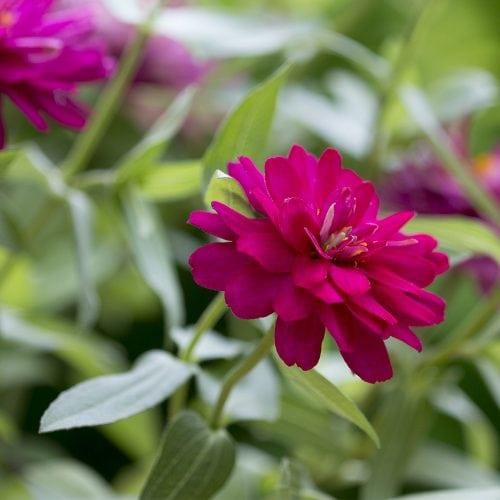 Rosa Zinnia blomma