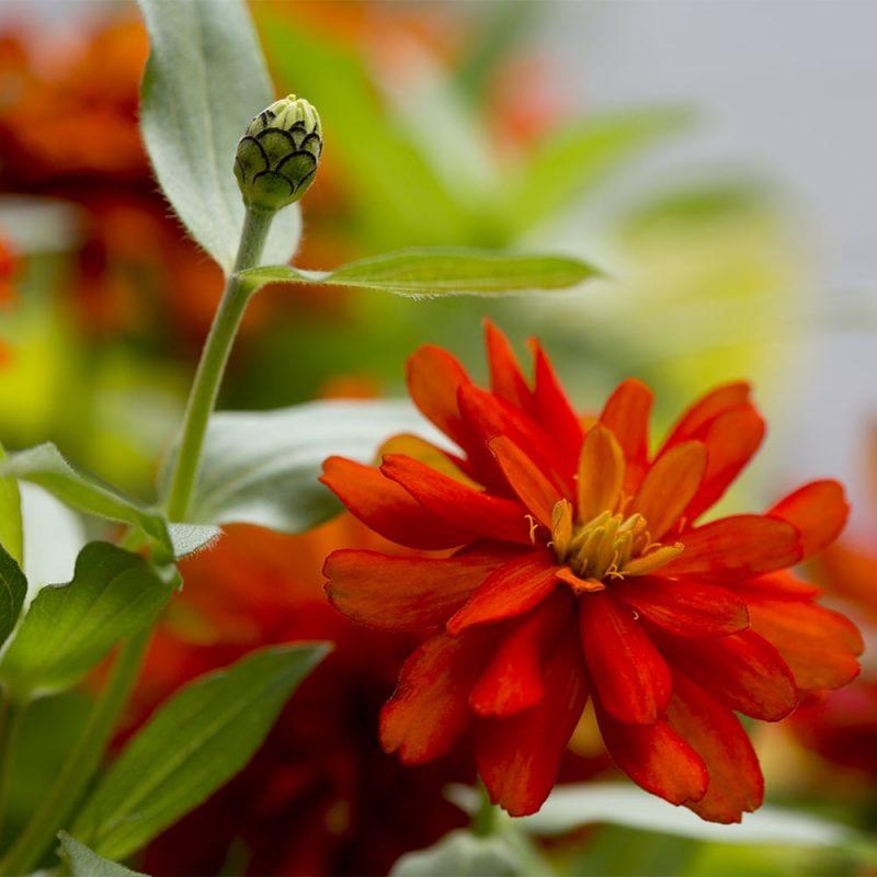 Röd blomma och knopp av Zinnia i närbild