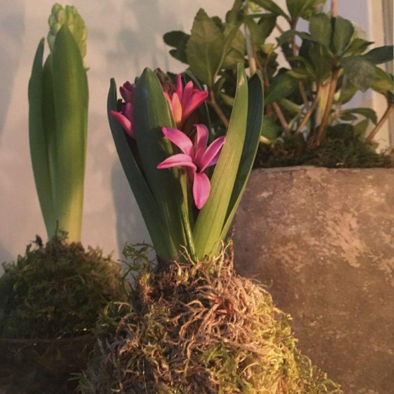 Skötsel- och planteringsråd för Hyacint