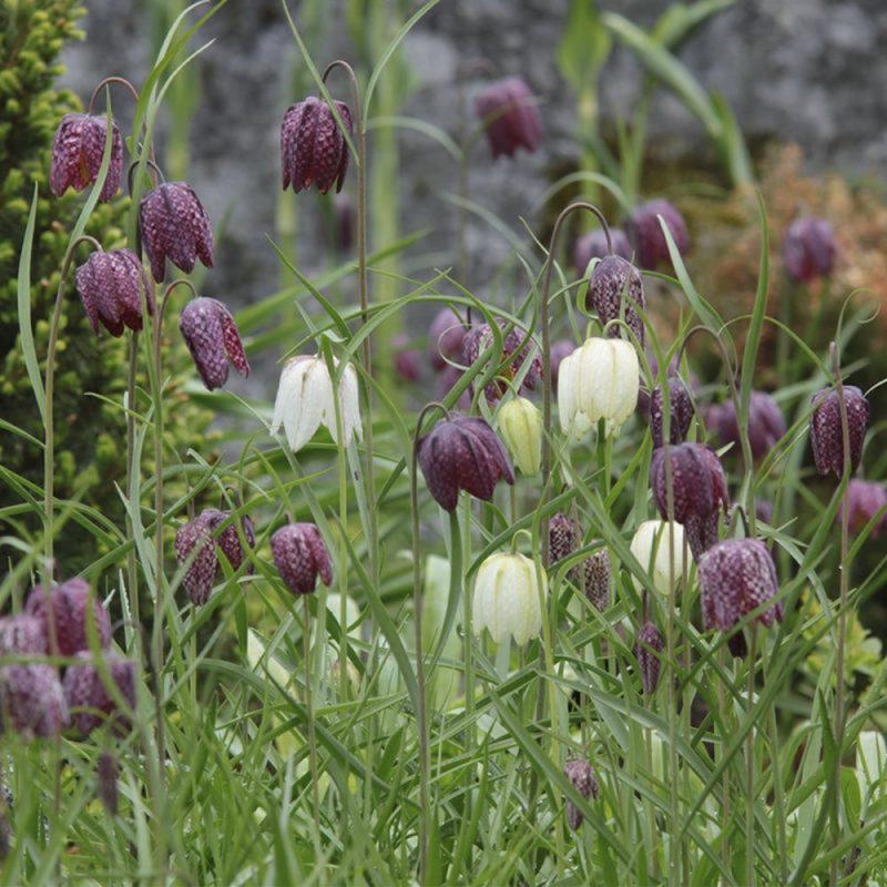 Skötsel- och planteringsråd för kungsängslilja
