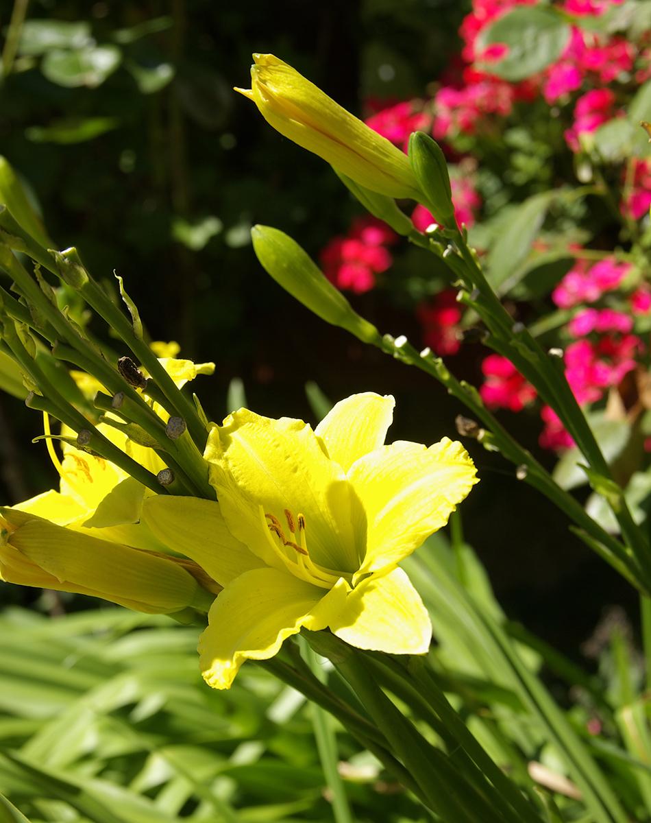 Här hittar du information hur du planterar vårlökar på hösten för en vacker vårblomning