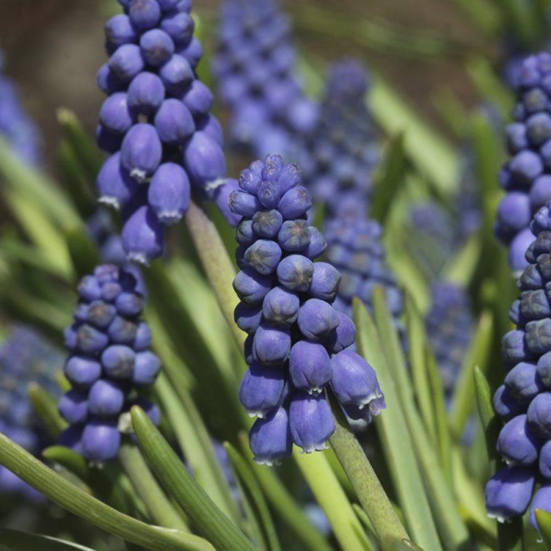 Skötsel- och planteringsråd för pärlhyacint