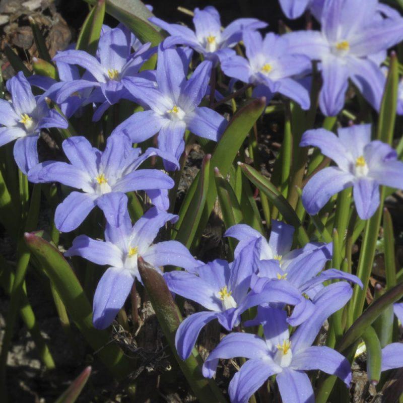 Skötsel- och planteringsråd för Scilla