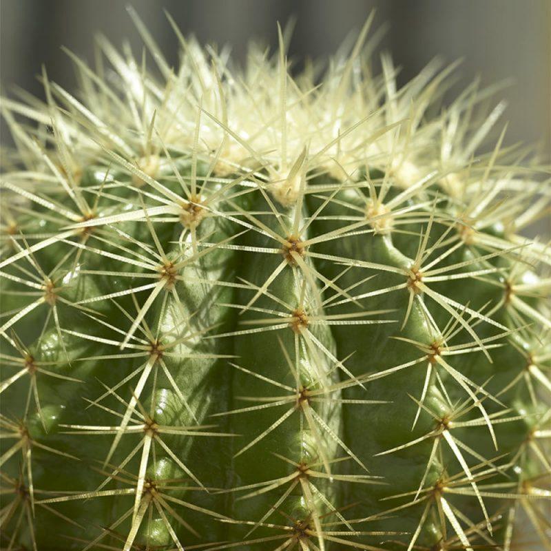 Skötsel- och planteringstips för Svärmorskudde