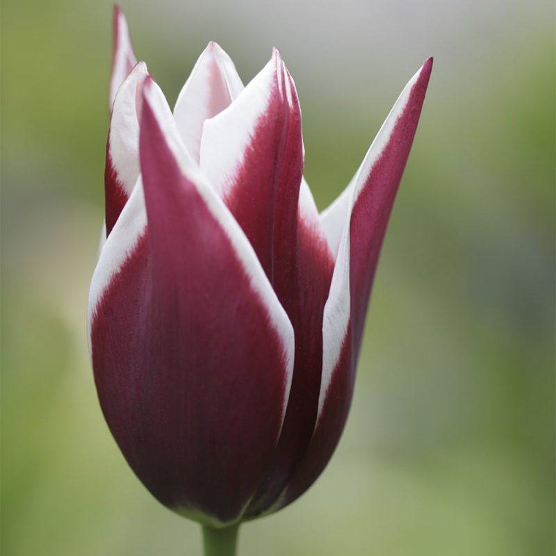 Skötsel- och planteringsråd för tulpan
