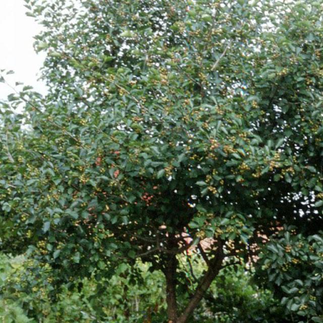 Skötsel- och planteringsråd för Surkörsbär