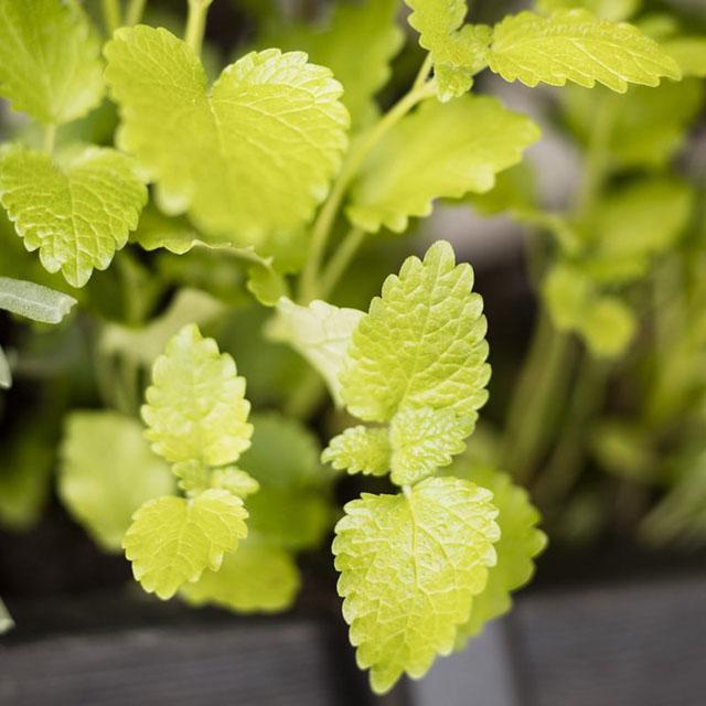 Skötsel- och planteringsråd för Citronmeliss