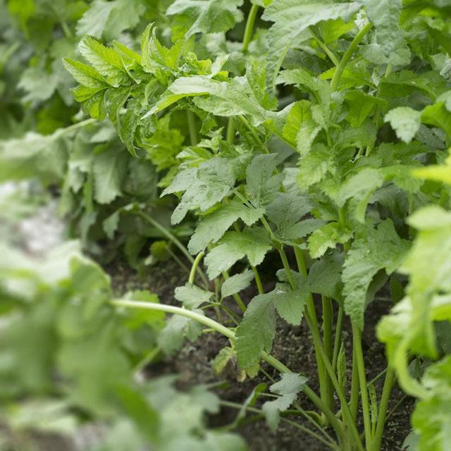 Skötsel- och planteringsråd för Palsternacka