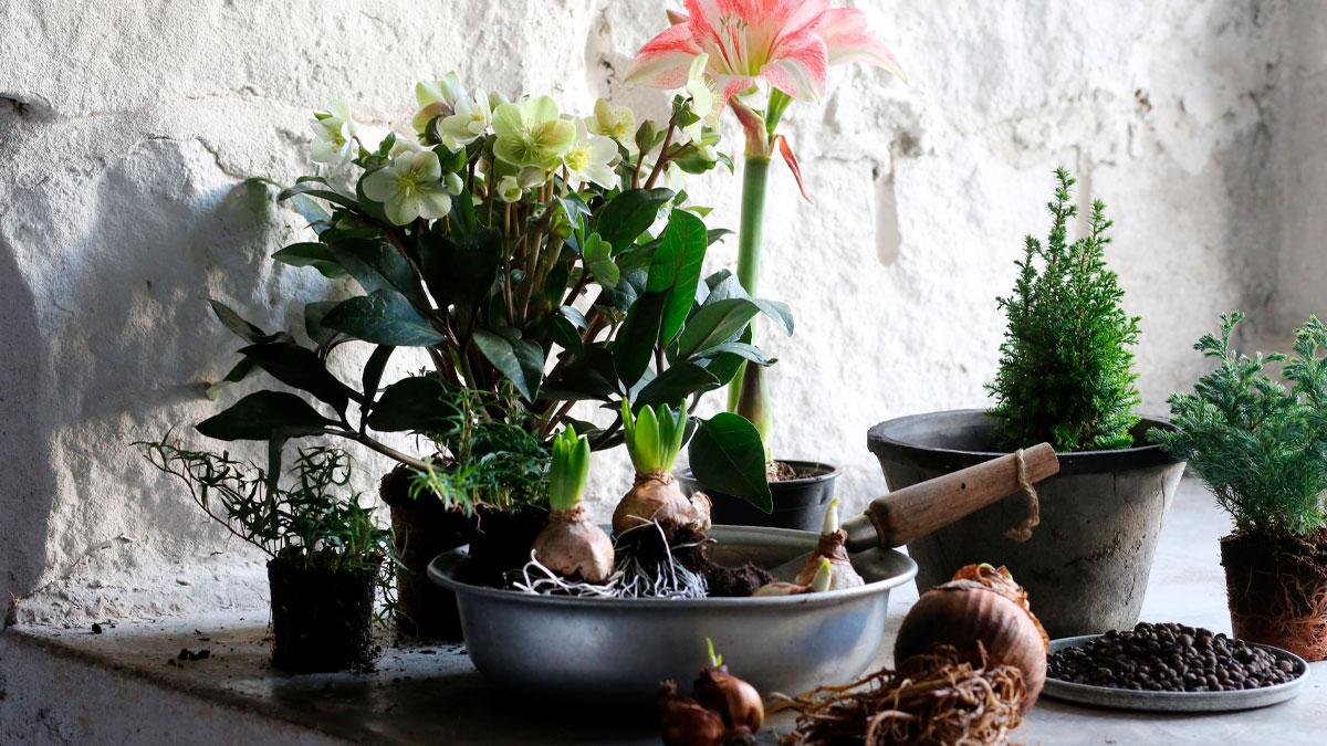 Julblommor i grupp med amaryllis, julrosor och hyacinter