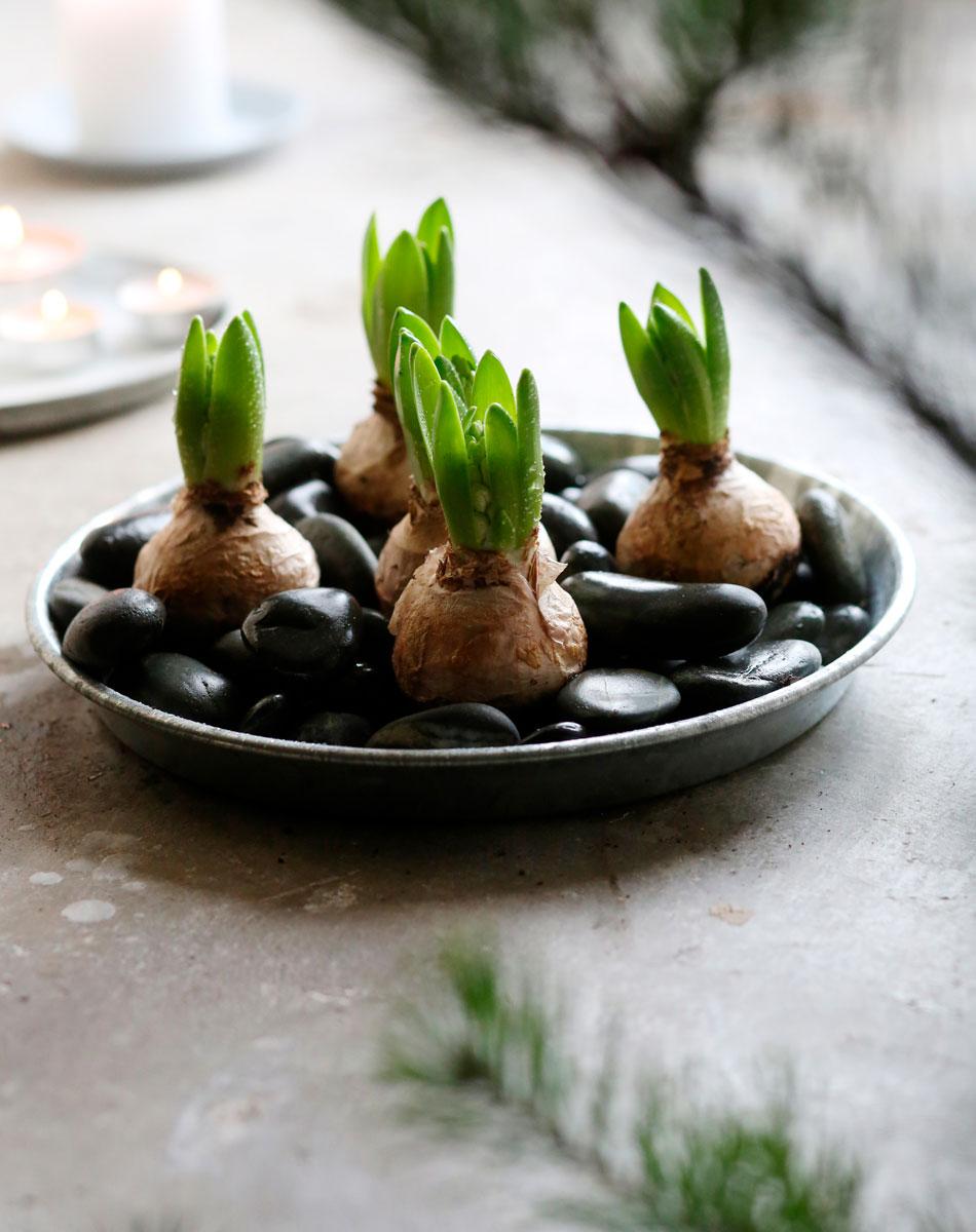 Hyacintlökar på fat med svarta dekorstenar
