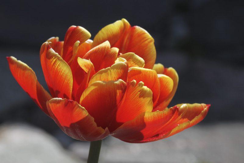 Trädgårdstulpaner orange