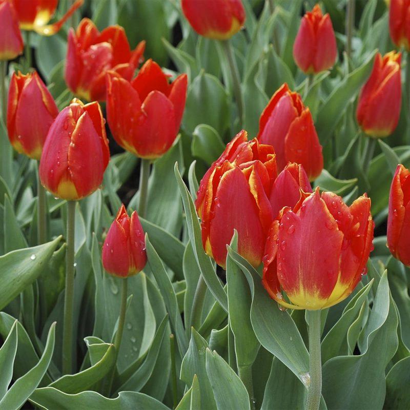 Trädgårdstulpaner röda