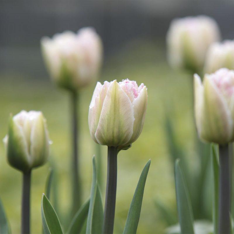 Trädgårdstulpaner vita