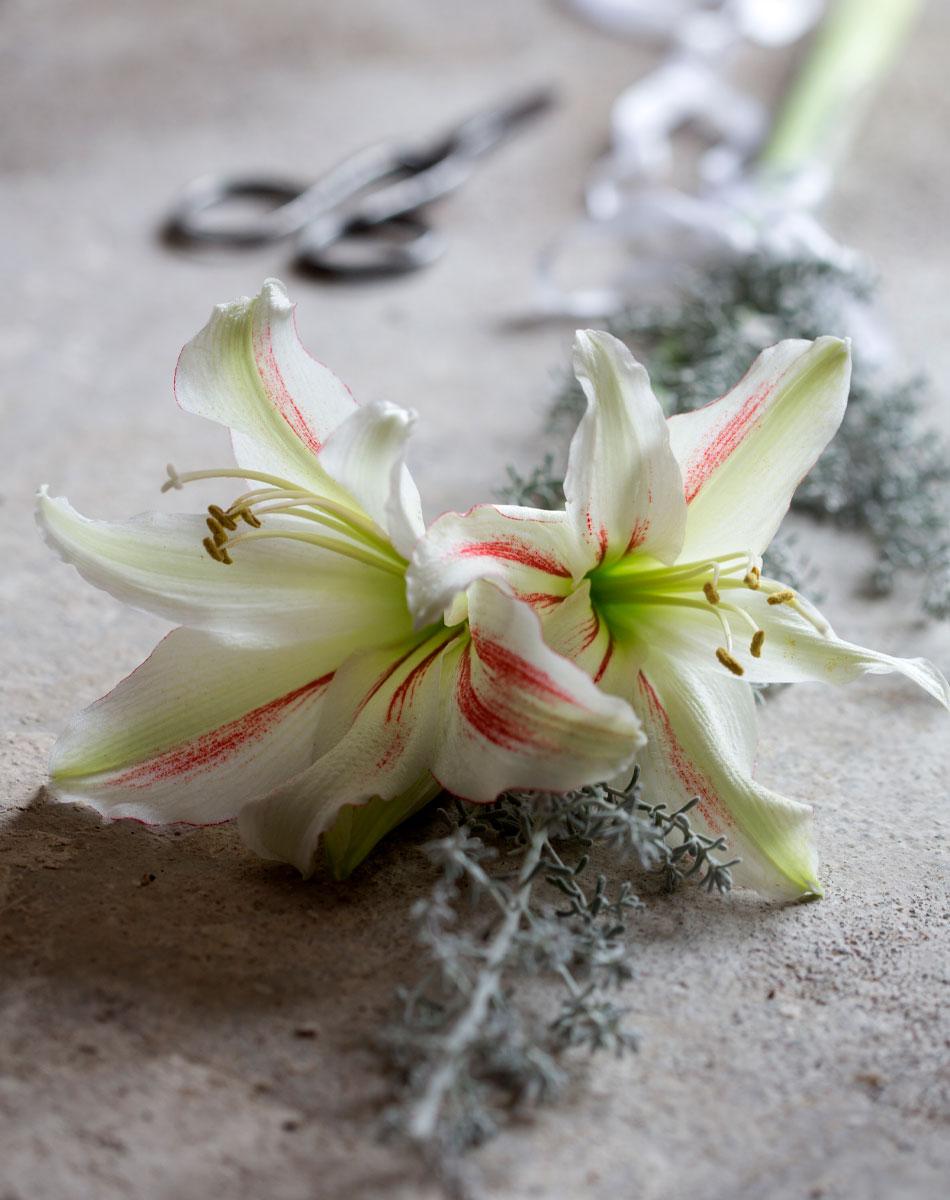 Vita amaryllis