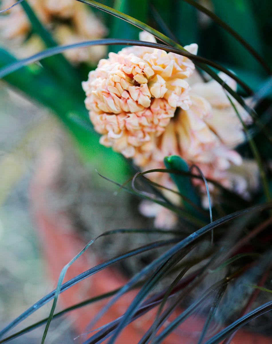 Hyacint i trädgården