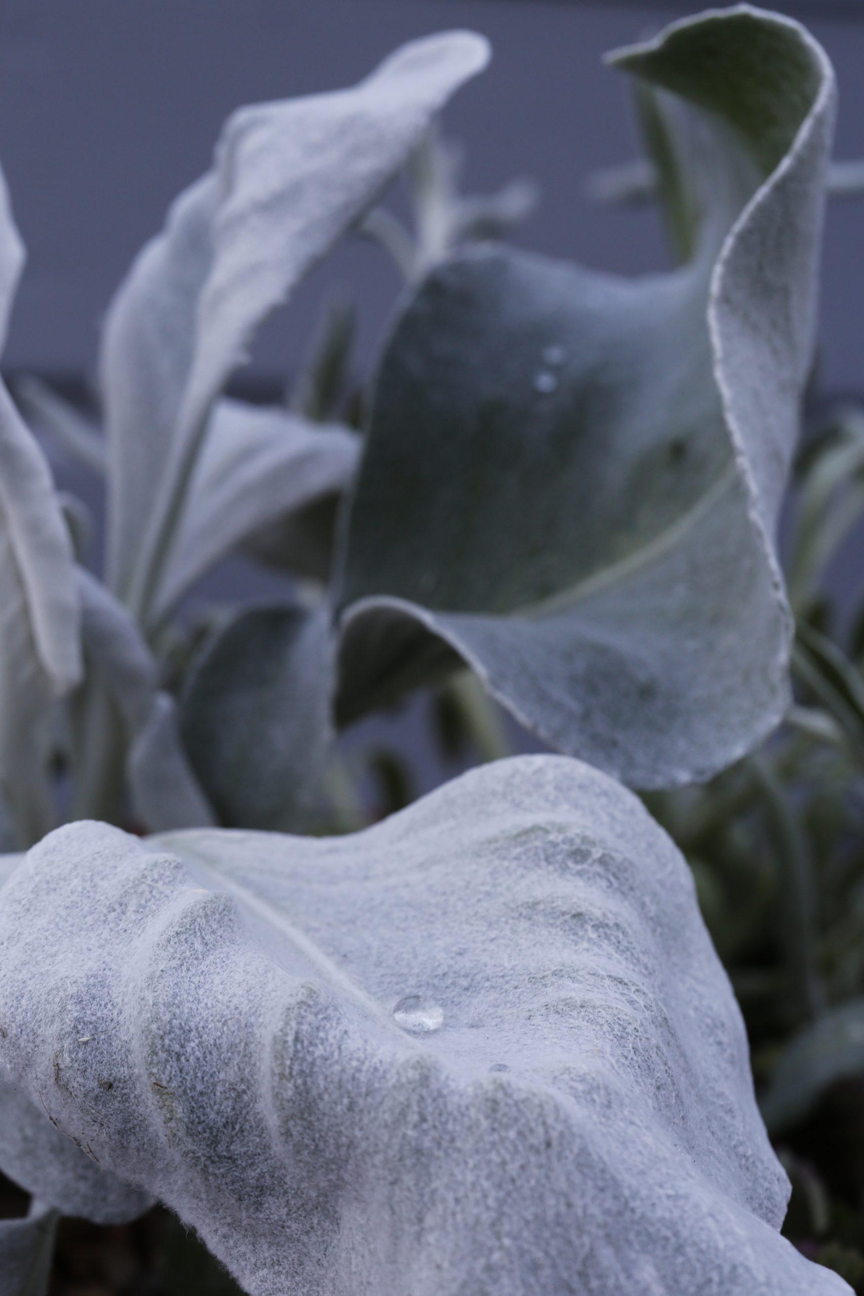 Silverbladig växt