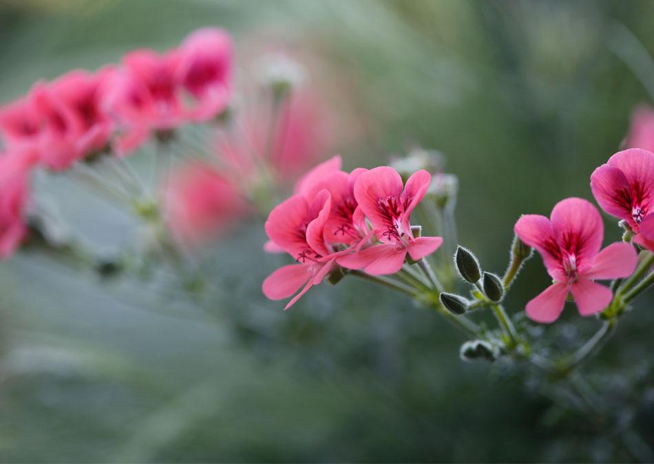 Rosa pelargoner