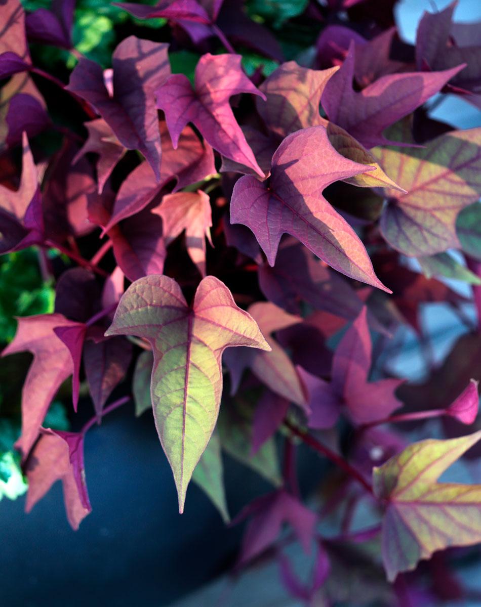 Rosafärgade blad