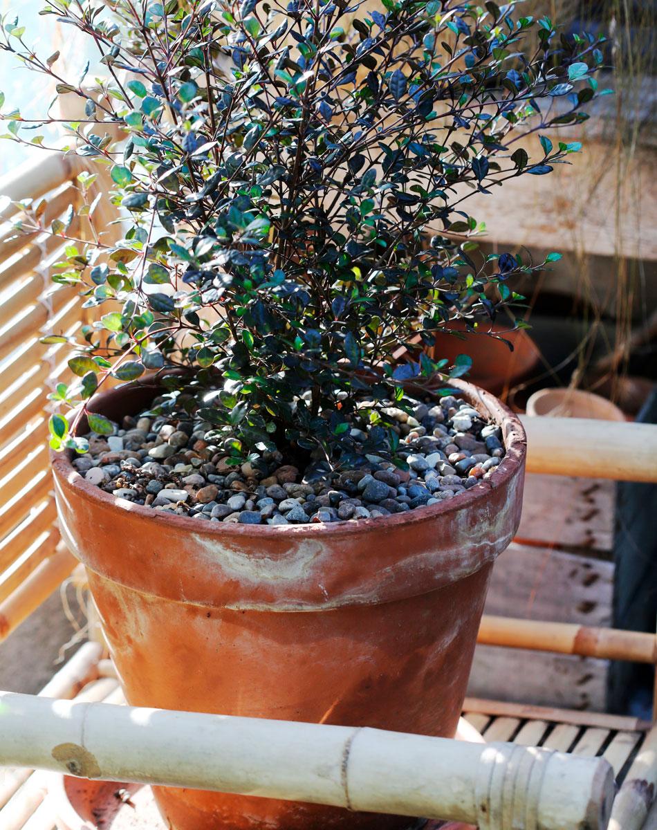 Krukplantering med svart bladväxt och dekorativa stenar