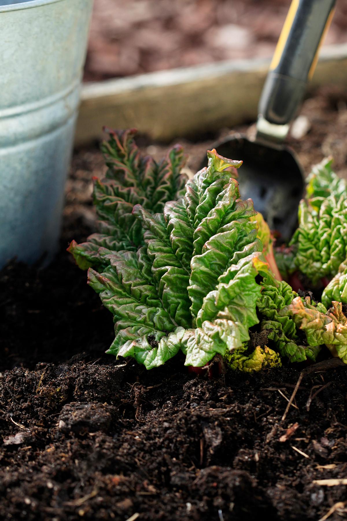 Rabarber planterad i kompost