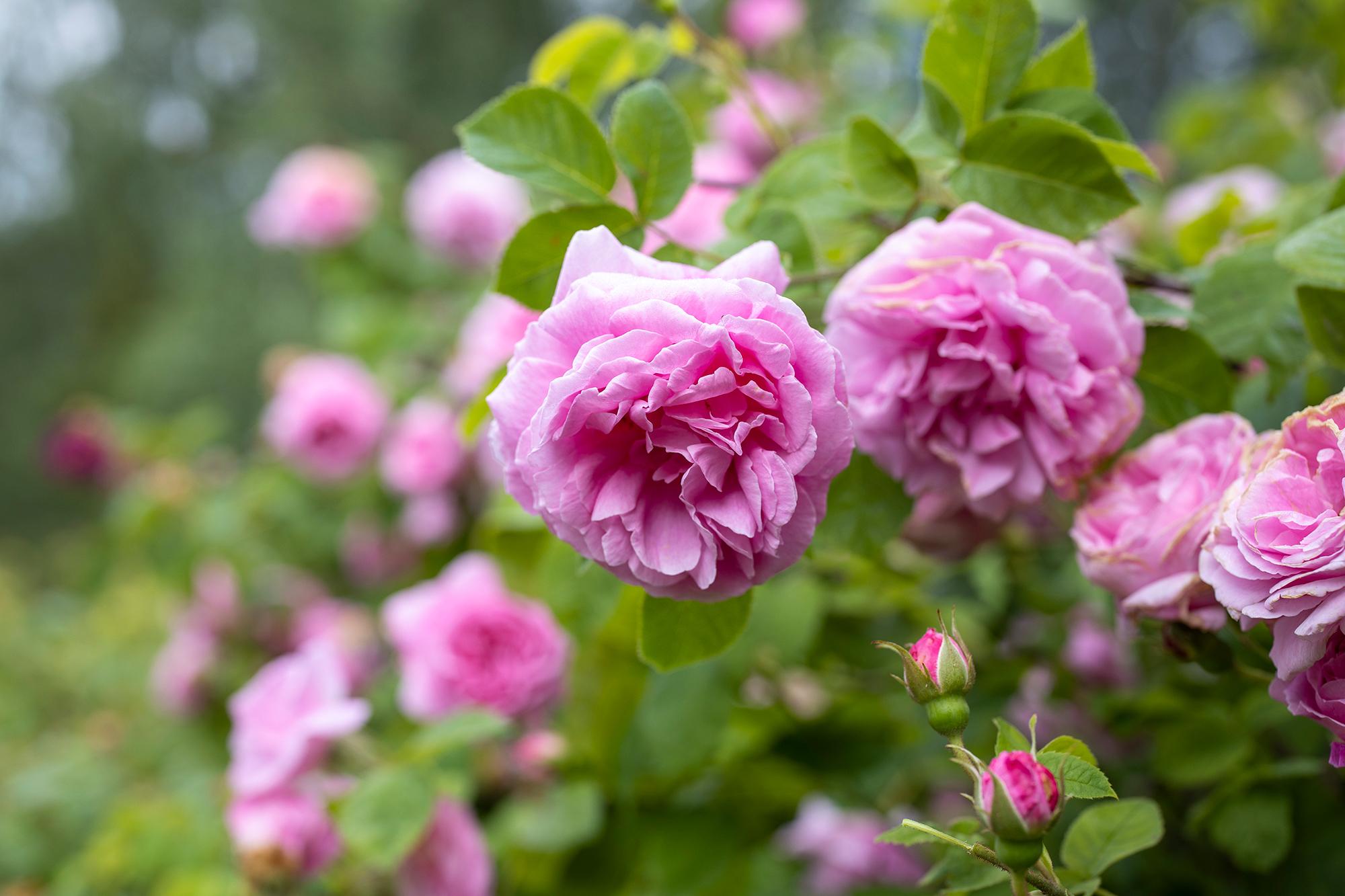 Rosa buskrosor