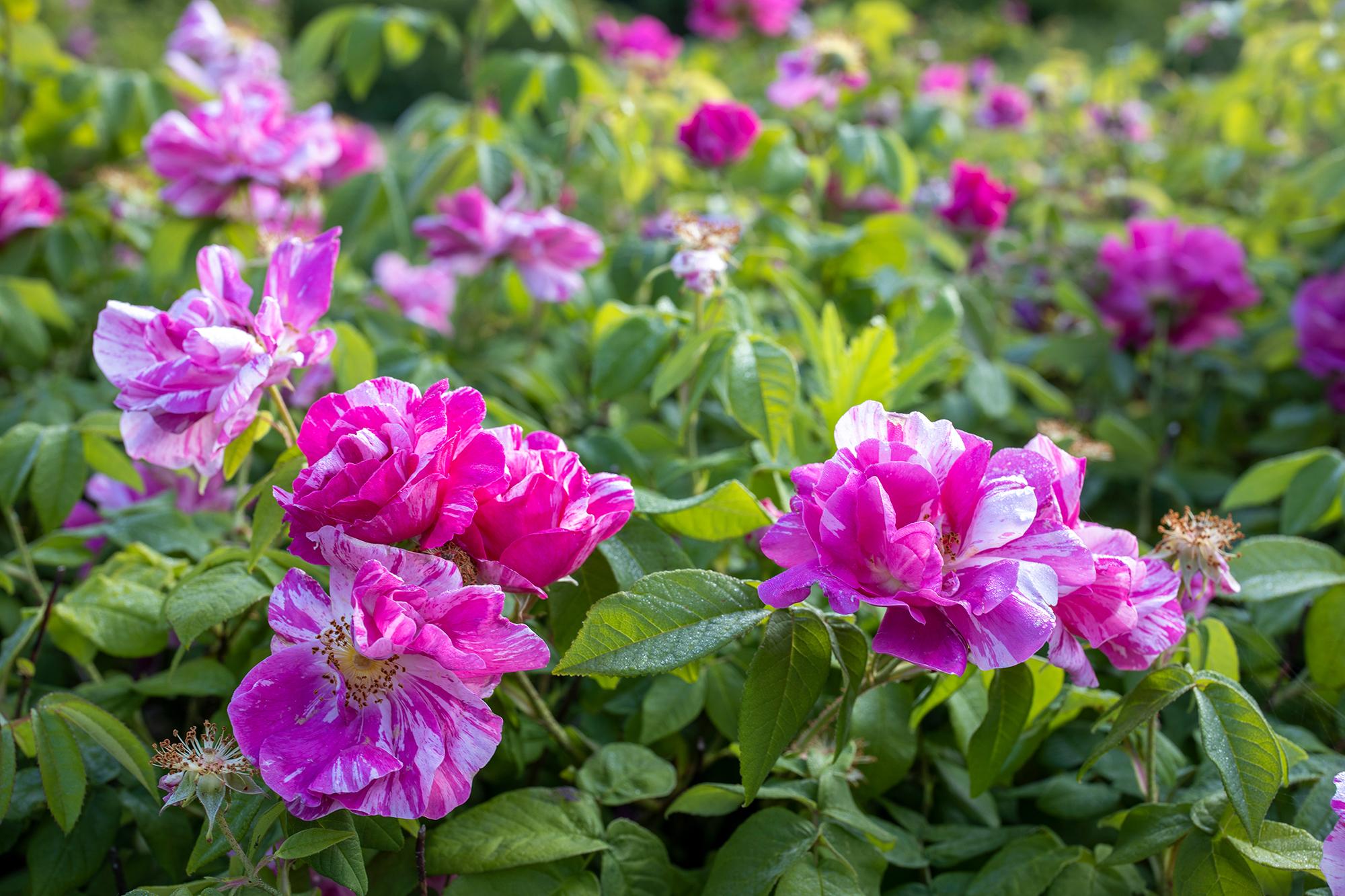 Rosa trädgårdsrosor