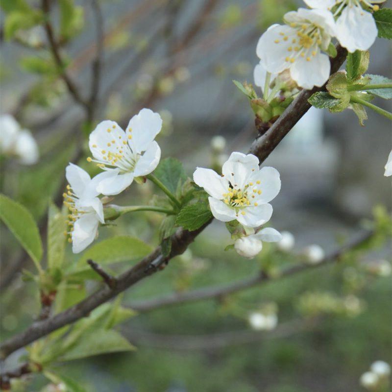 Blommor på plommonträd