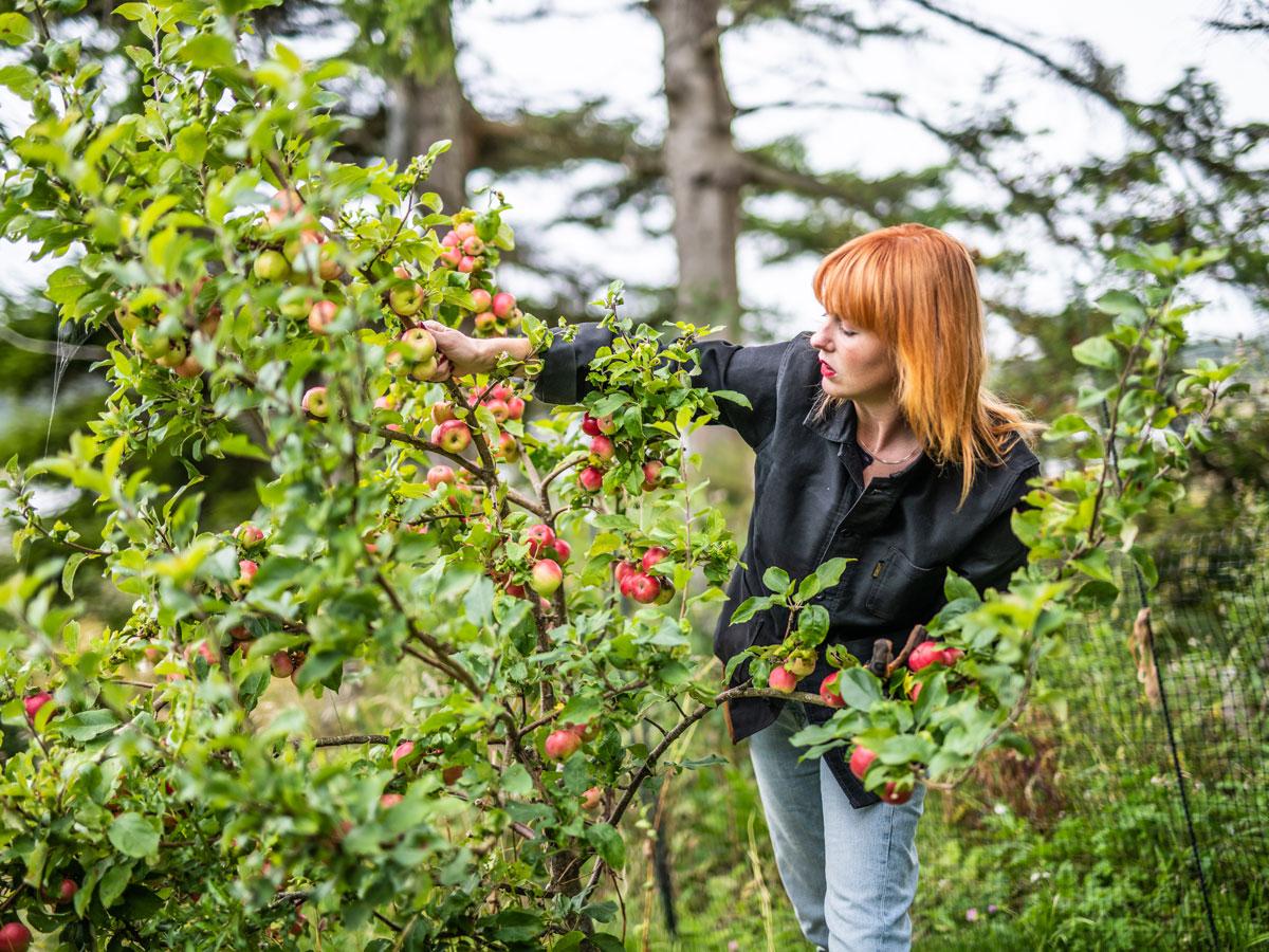 Emily Bratt plockar äpplen från äppelträd